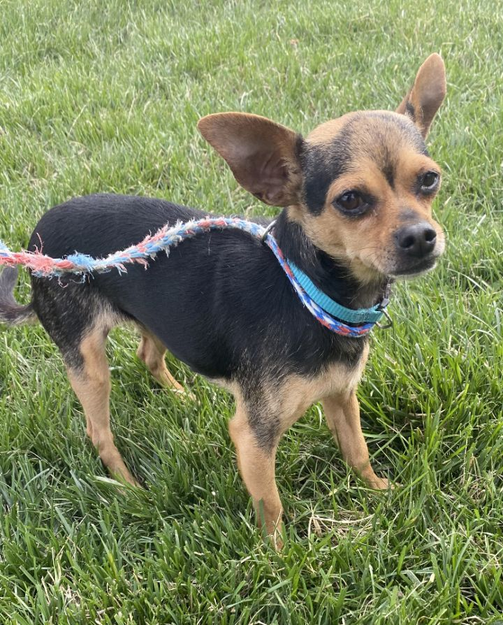 Gidget, an adopted Chihuahua in Omaha, NE_image-1