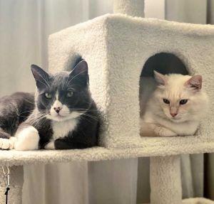 Yeti and Cabbage Siamese Cat