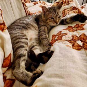 Bindi Tabby Cat