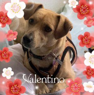 Valentino Corgi Dog