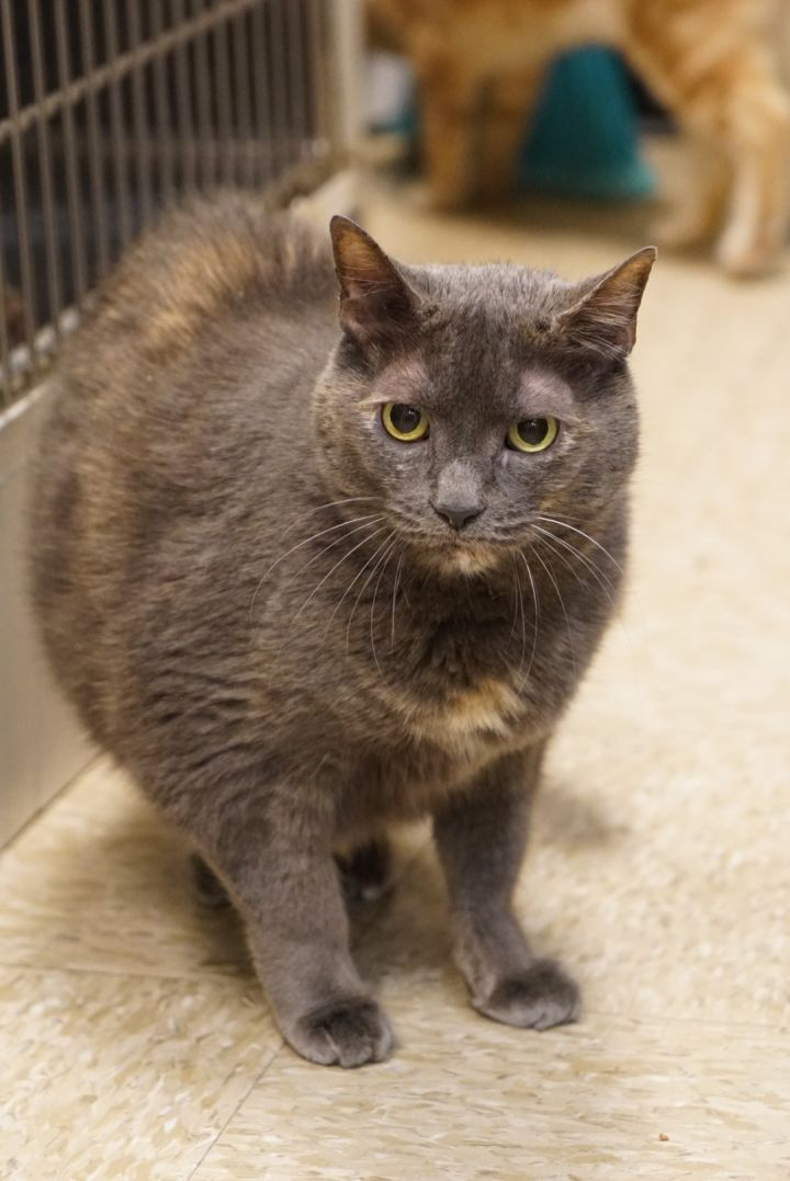 Skittles -Adoption Pending!, an adopted Domestic Short Hair & Tortoiseshell Mix in Colmar, PA_image-1