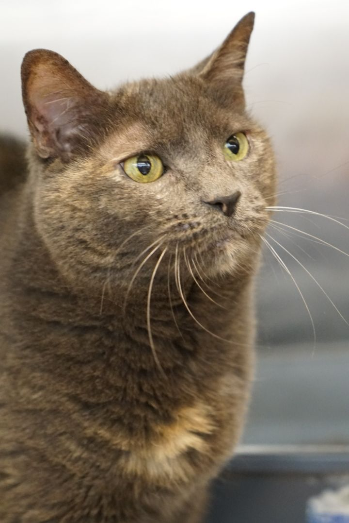 Skittles -Adoption Pending!, an adopted Domestic Short Hair & Tortoiseshell Mix in Colmar, PA_image-3
