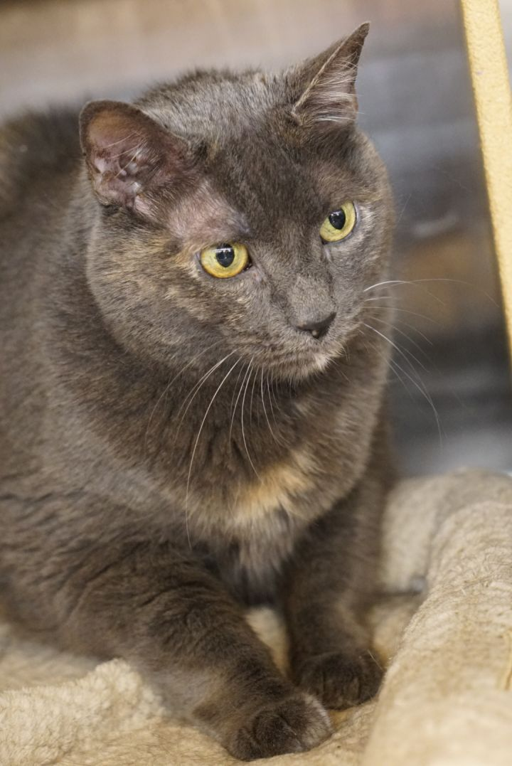 Skittles -Adoption Pending!, an adopted Domestic Short Hair & Tortoiseshell Mix in Colmar, PA_image-5