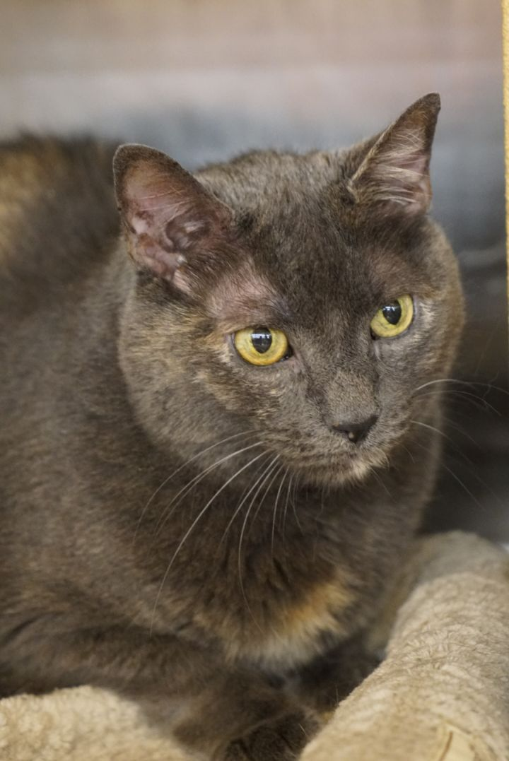 Skittles -Adoption Pending!, an adopted Domestic Short Hair & Tortoiseshell Mix in Colmar, PA_image-6