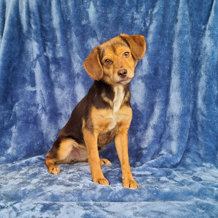 Bunky, an adoptable Beagle Mix in Cincinnati, OH_image-1