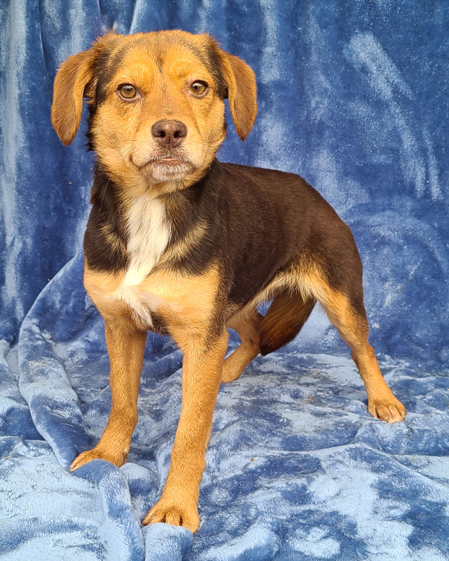 Bunky, an adoptable Beagle Mix in Cincinnati, OH_image-2