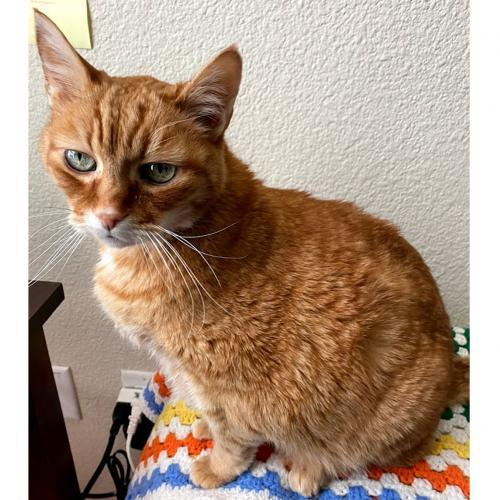 Sam, an adoptable Tabby & Domestic Short Hair Mix in Springfield, OR_image-2