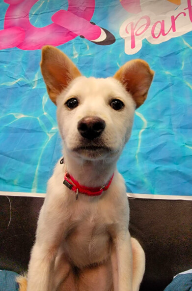 Yuri, an adoptable Jindo & Terrier Mix in Long Island City, NY_image-1
