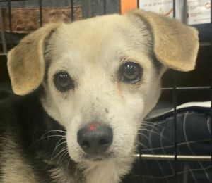 Pillan is a six year-old DachshundChihuahua mix rescued from Puerto Rico If interested in adopting