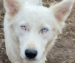 Nuri is a one year-old HuskyShepherd mix rescued from Puerto Rico She weighs approximately forty-f