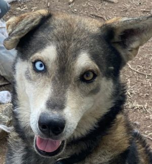 Bebe is a two year-old Husky mix rescued from Puerto Rico He spent most of his life chained up Sin