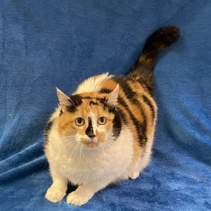 Frappe, an adoptable Domestic Short Hair Mix in Pleasantville, NJ_image-1