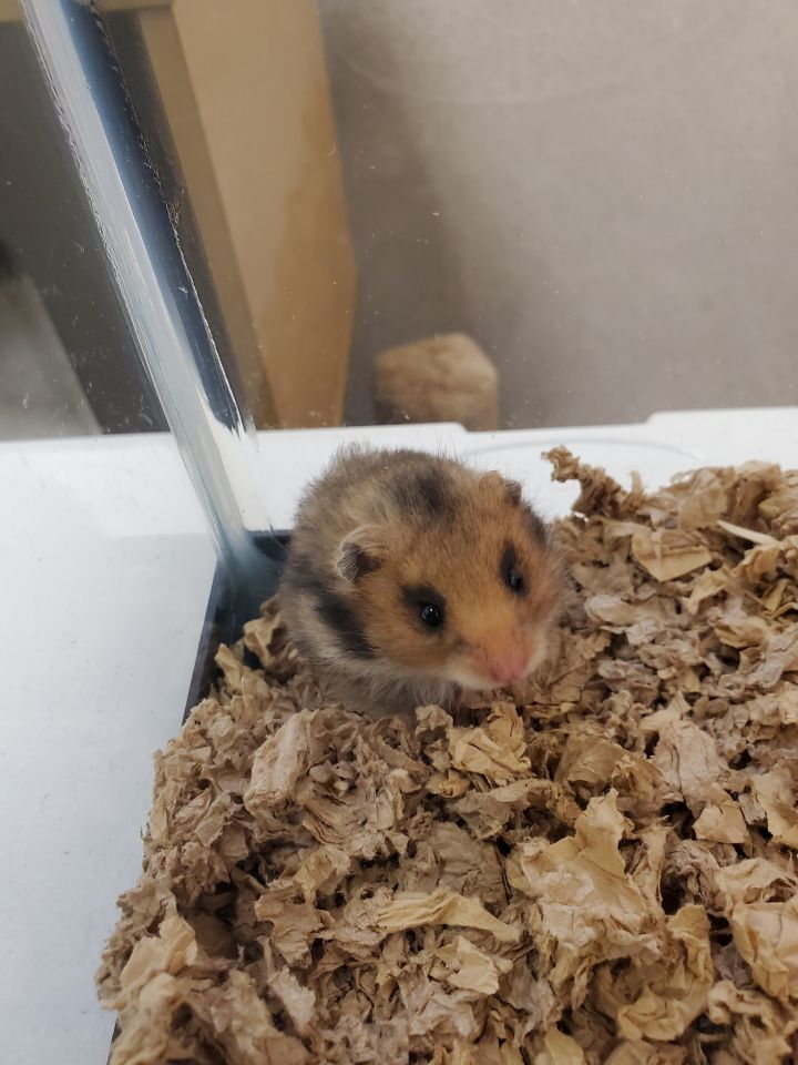 Hamsta, an adoptable Hamster in Naperville, IL_image-1