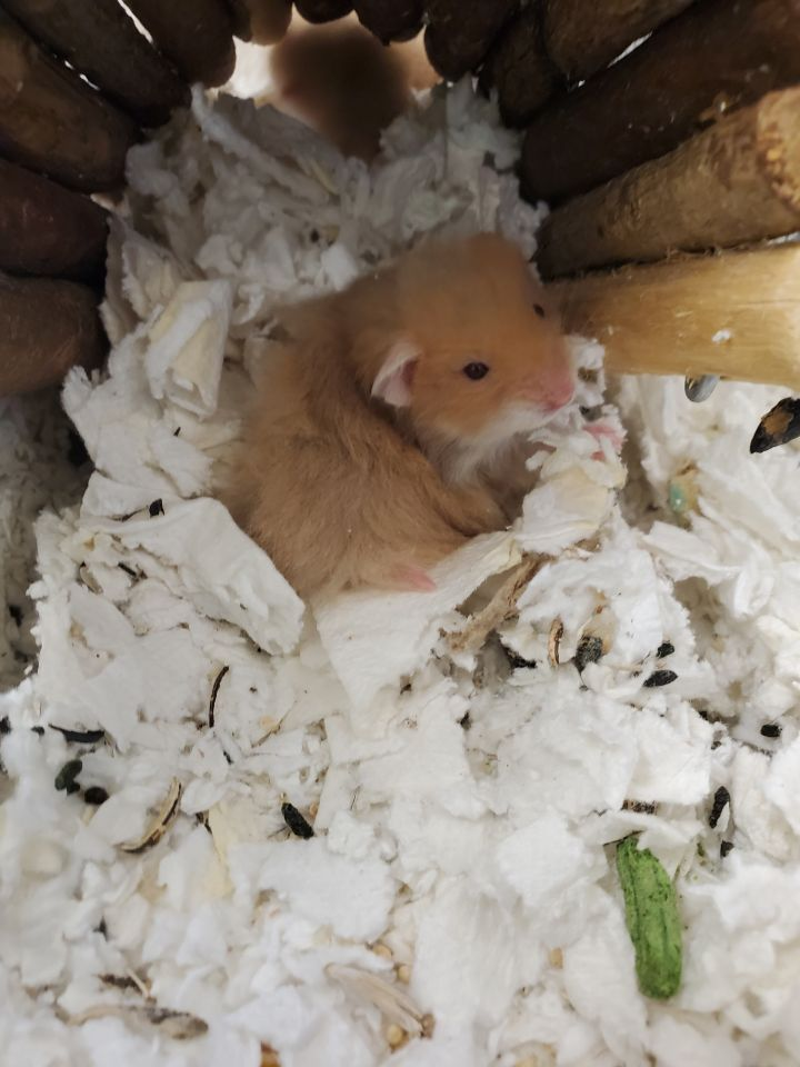 Honey Ham, an adopted Hamster in Naperville, IL_image-1