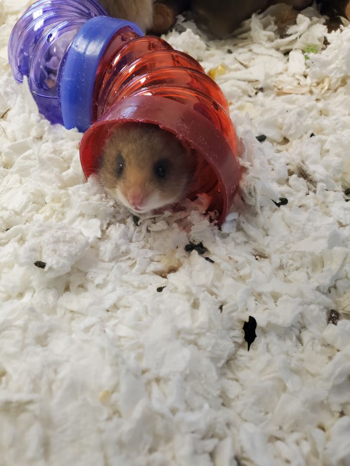 Hamley, an adoptable Hamster in Naperville, IL_image-1