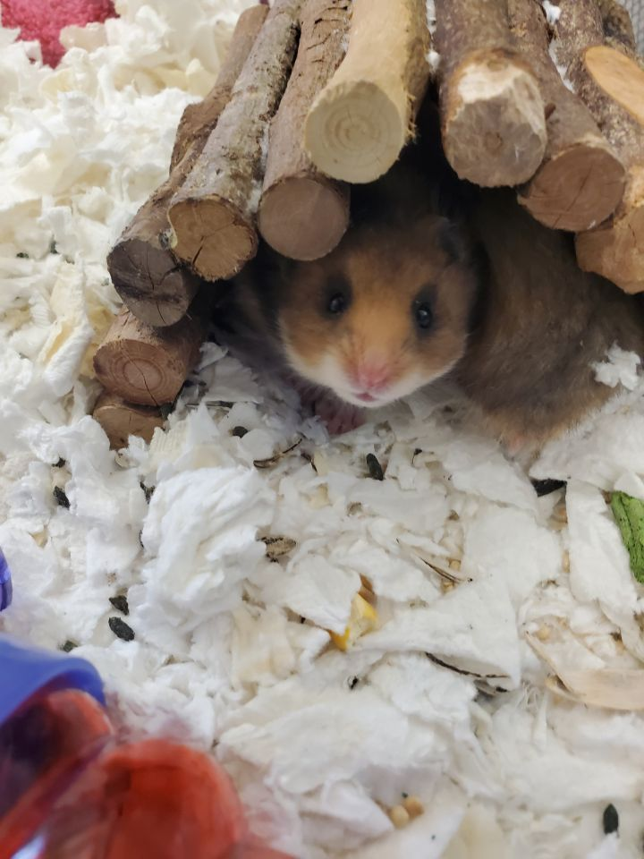 Madam Ham, an adoptable Hamster in Naperville, IL_image-1