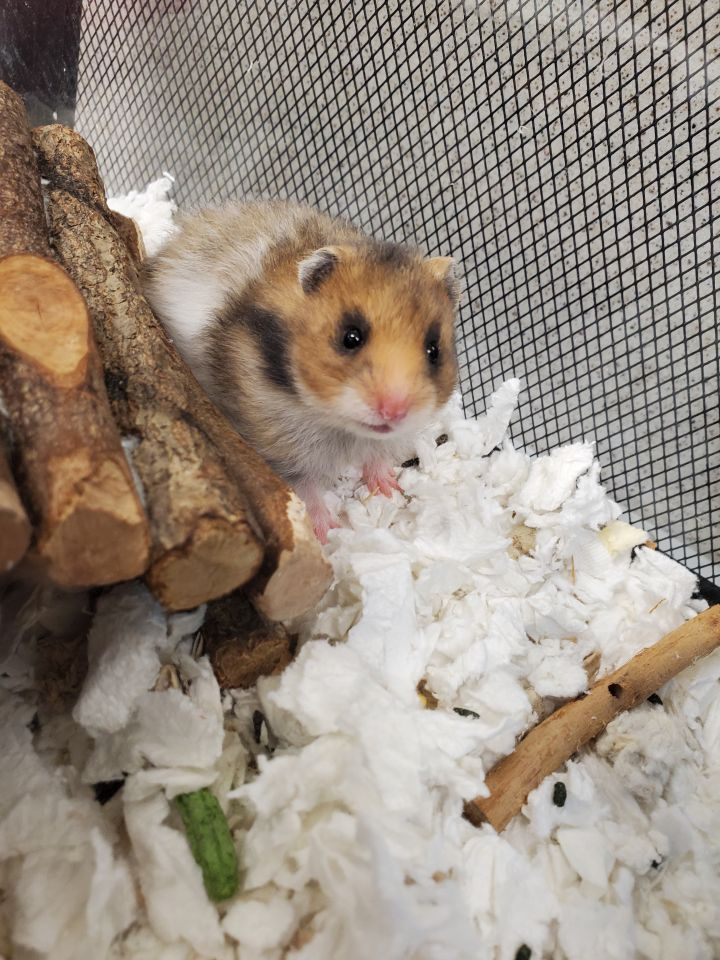 Hamanda, an adoptable Hamster in Naperville, IL_image-1
