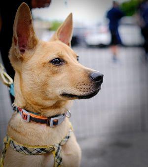 Hettie Mountain Dog Dog