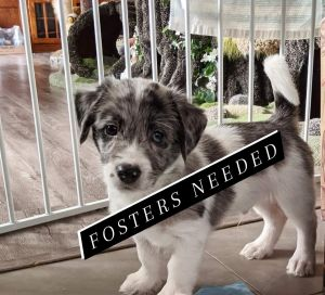 Hi there We are looking for a variety of puppy fosters to have pre-approved and on hand for dogspu