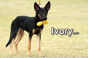 Ivory Mountain Dog Dog