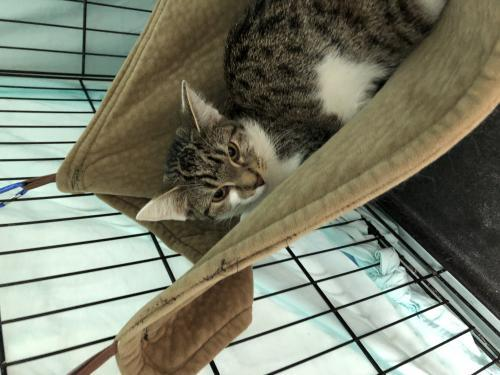 Avalon, an adoptable Tabby & Domestic Short Hair Mix in Monroe, MI_image-2