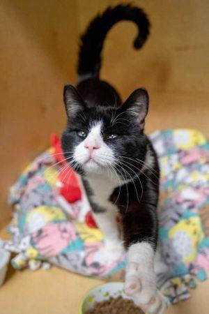 Ozzy Tuxedo Cat