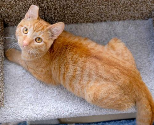 Ty, an adoptable Tabby & Domestic Short Hair Mix in Los Angeles, CA_image-1