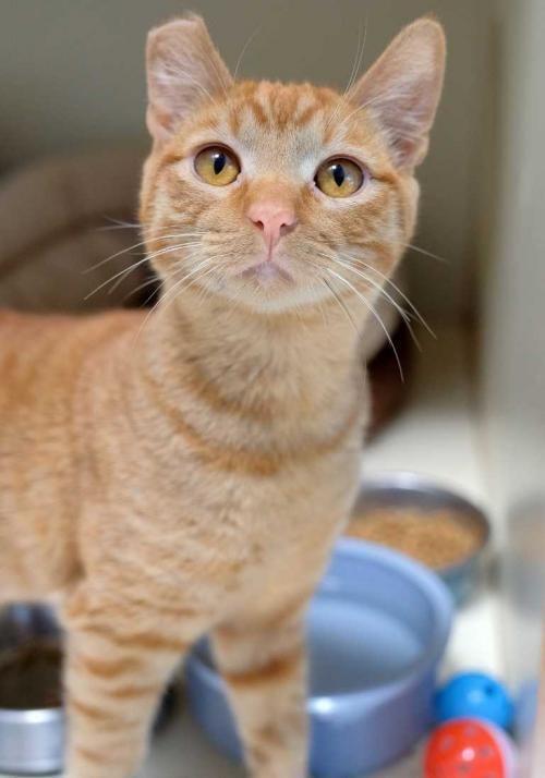 Ty, an adoptable Tabby & Domestic Short Hair Mix in Los Angeles, CA_image-2