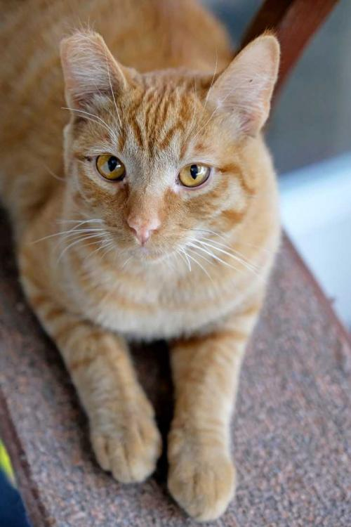 Ty, an adoptable Tabby & Domestic Short Hair Mix in Los Angeles, CA_image-3
