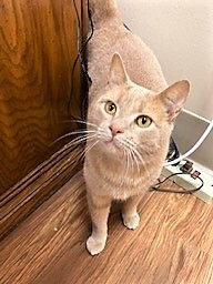Spartan, an adopted Domestic Short Hair Mix in Medina, OH_image-1