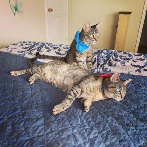 Puma and Savannah Tabby Cat