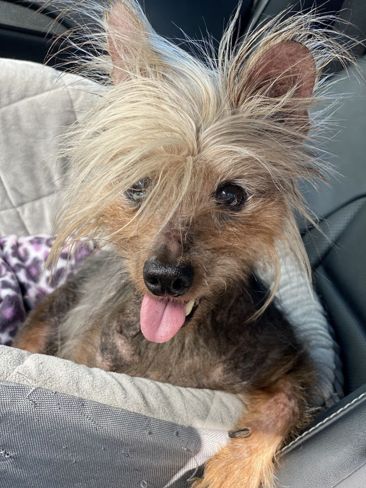 Benjamin Buttons, an adoptable Yorkshire Terrier in Houston, TX_image-2