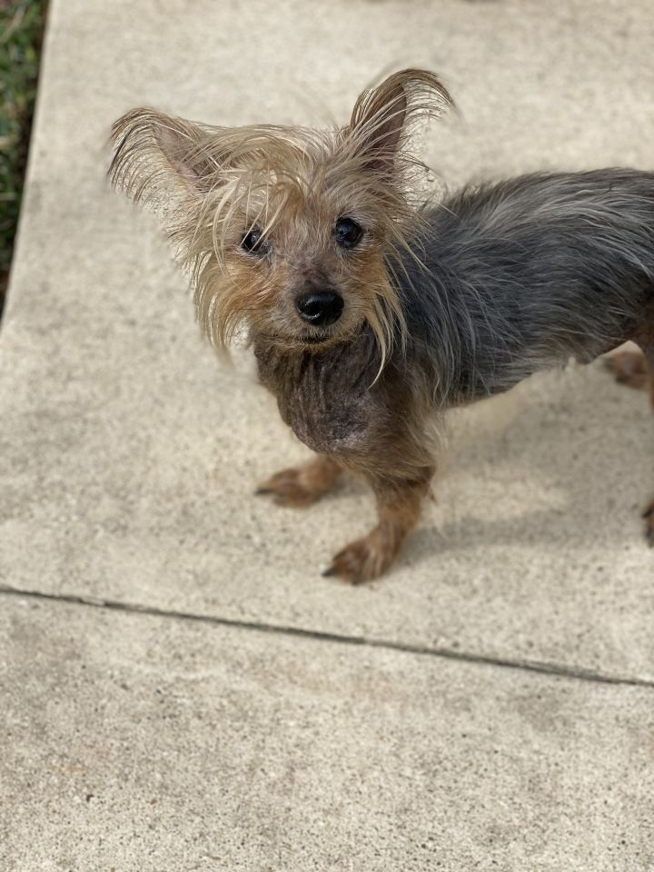 Benjamin Buttons, an adoptable Yorkshire Terrier in Houston, TX_image-3