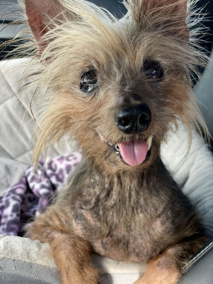 Benjamin Buttons, an adoptable Yorkshire Terrier in Houston, TX_image-1