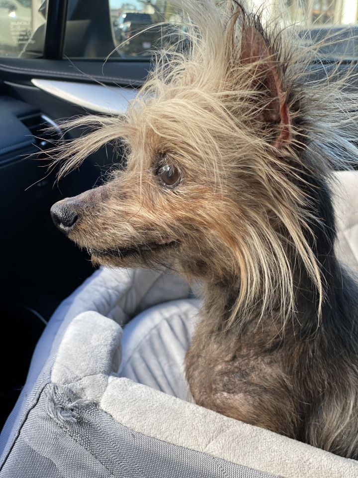 Benjamin Buttons, an adoptable Yorkshire Terrier in Houston, TX_image-4