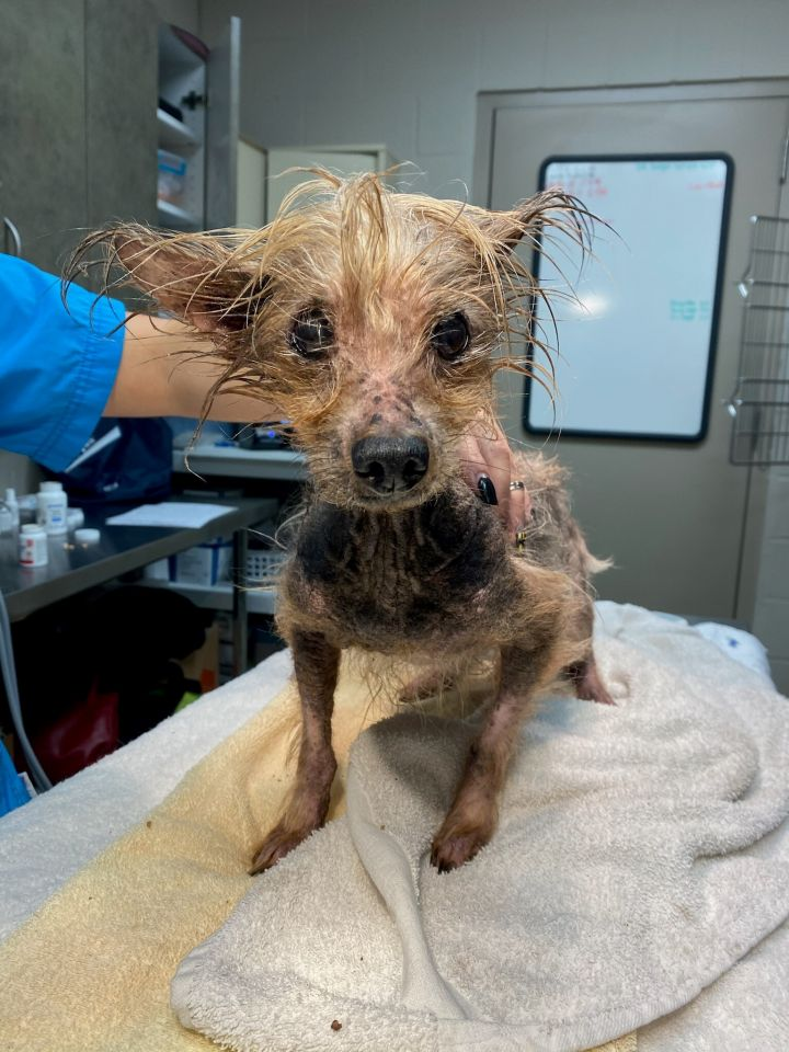 Benjamin Buttons, an adoptable Yorkshire Terrier in Houston, TX_image-6