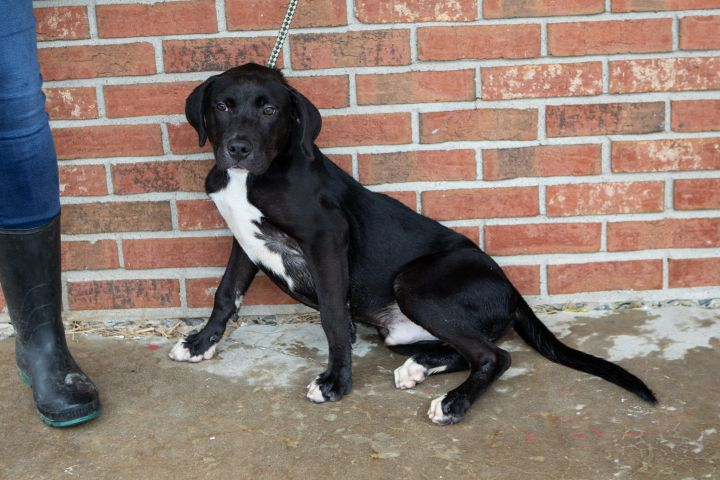 Haddock, an adoptable Mixed Breed in Cape Girardeau, MO_image-1