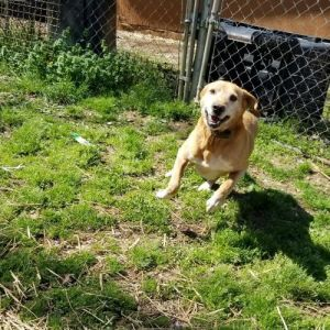Peter 4 year old Lab Mix This guy came to us as a stray He has tons of energy He