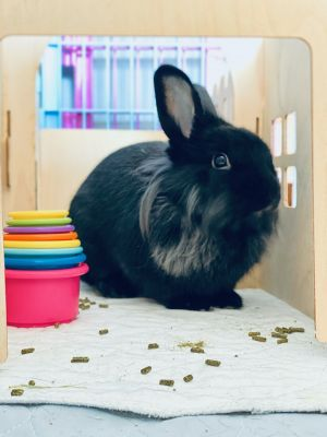Trick is a small Lionhead female who was born unexpectedly to a female in Bunnies  Beyond custody