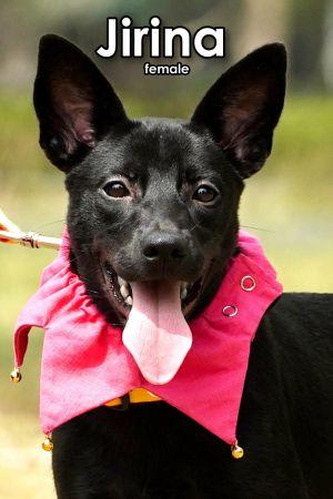Jirina Mountain Dog Dog