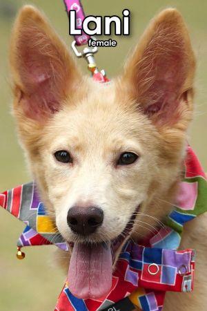 Lani Mountain Dog Dog