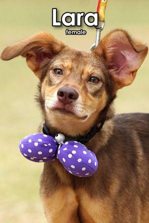 Lara Mountain Dog Dog