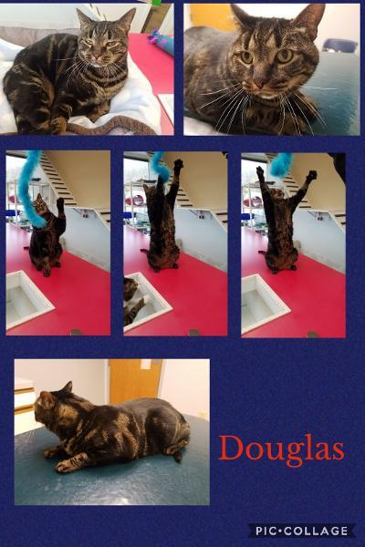 Douglas, an adoptable Tabby in Temple, PA_image-1