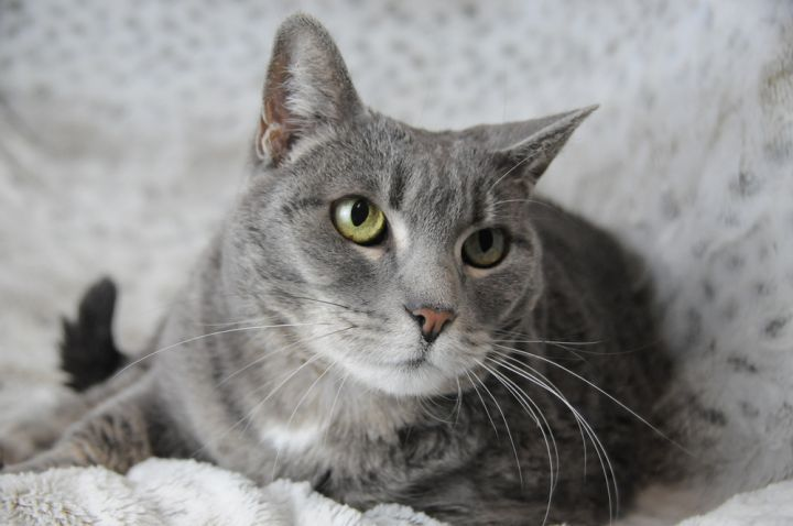 Betsy, an adoptable Domestic Short Hair Mix in Jamestown, CA_image-1