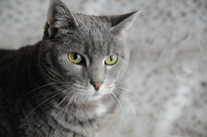 Betsy, an adoptable Domestic Short Hair Mix in Jamestown, CA_image-2