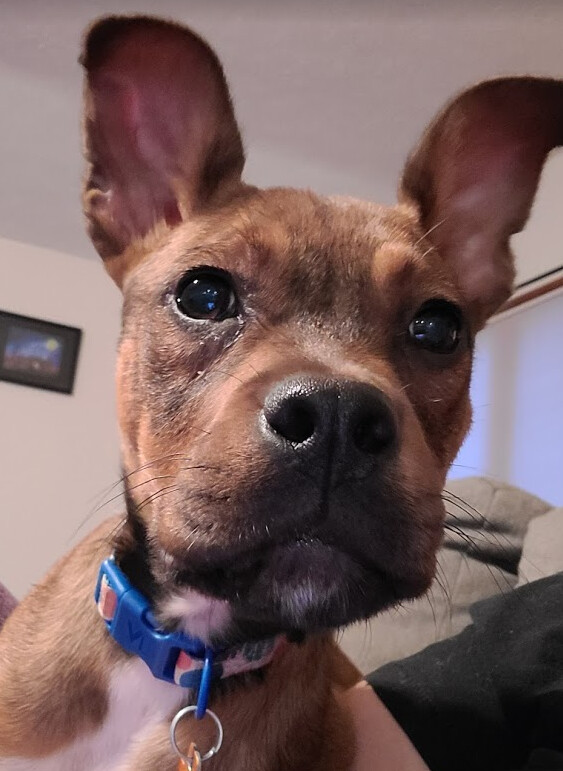 Puppy Coco, an adoptable Mountain Cur & Boxer Mix in Rochester, NY_image-1