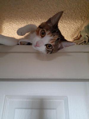 Cali Tabby Cat
