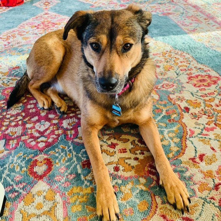 Amazing Saphy, an adoptable Shepherd Mix in Seattle, WA_image-3