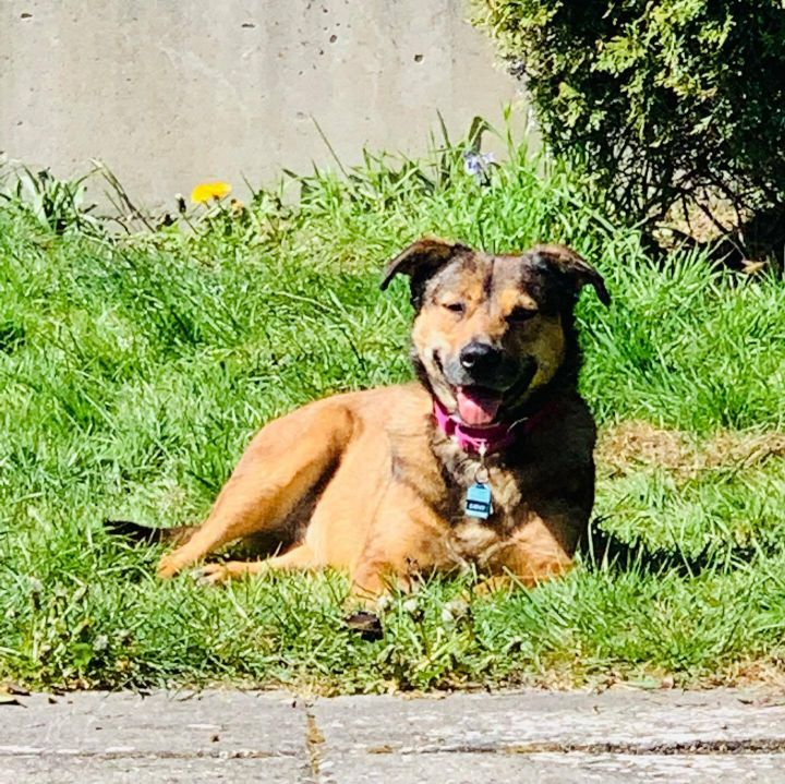 Amazing Saphy, an adoptable Shepherd Mix in Seattle, WA_image-4