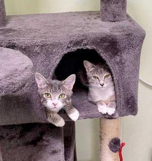 Chip and Jojo Tabby Cat